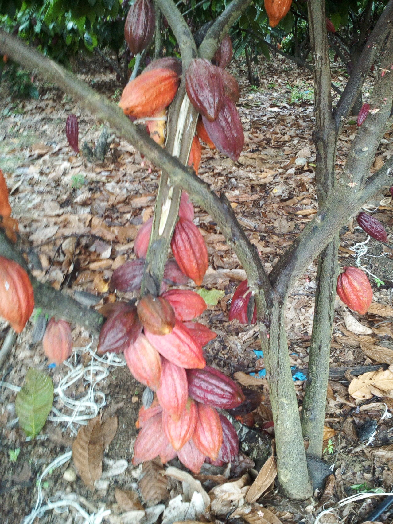 cocoa brazil Fruit Bitter Tropical Agriculture Agro Cocoa Chocolate Plant Sell Tree Export Buy Monay Nature