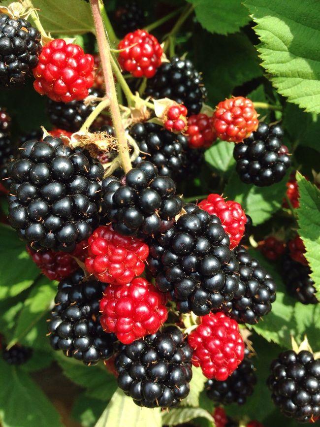 Brombeeren Brombeerstrauch Blackberry Fruit Garden Garden Photography Bramble Bio Self Cultivation