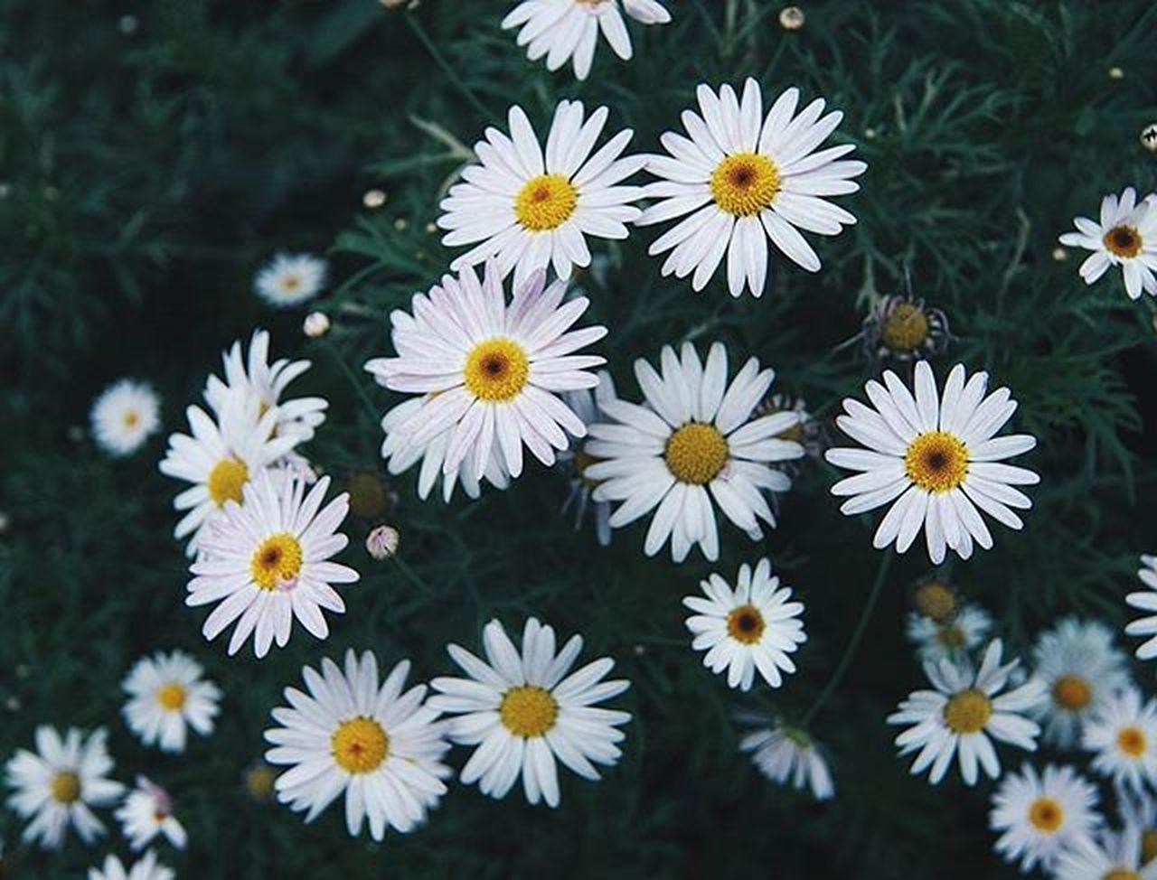 Flowerstagram Daisyflower Flowers
