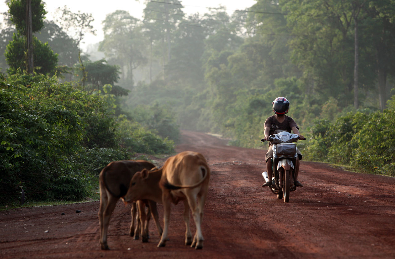 Calves By Man Riding Motor Scooter On Road