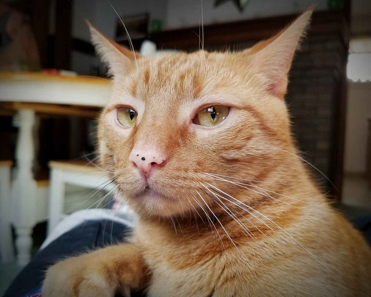 domestic cat, one animal, pets, animal themes, mammal, domestic animals, feline, whisker, indoors, cat, portrait, focus on foreground, close-up, looking at camera, no people, day, ginger cat