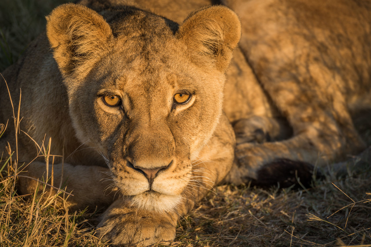 Portrait Of Lioness Resting In Forest
