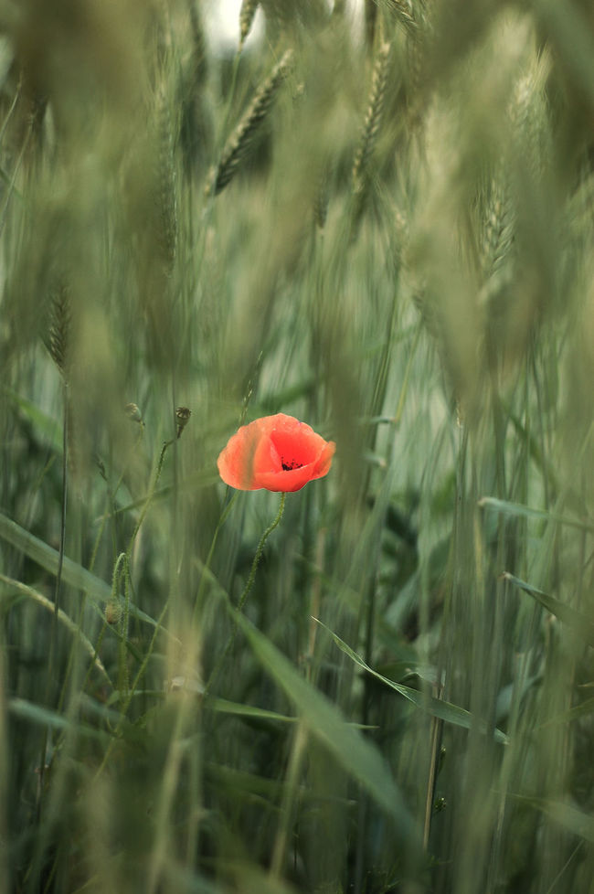 Beauty In Nature Close-up Day Grass Green Color Growth Nature No People Outdoors Plant Poppy Flowers Red