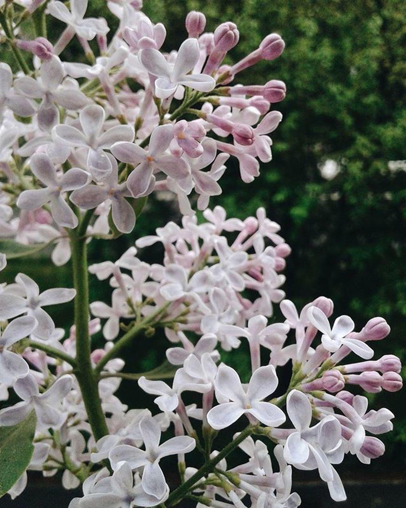 Сирени вам □ потрясающий запах запахсирени Flower Beautiful Imfotographer