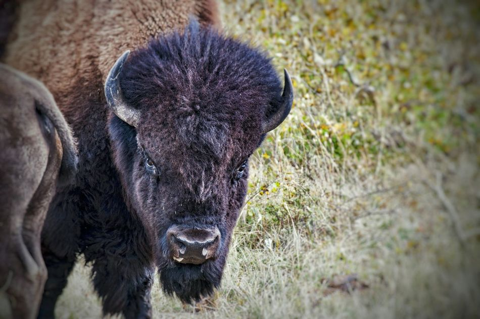 Animal Themes One Animal Mammal Field Animals In The Wild Nature No People Outdoors Day Domestic Animals Close-up Beauty In Nature Bison