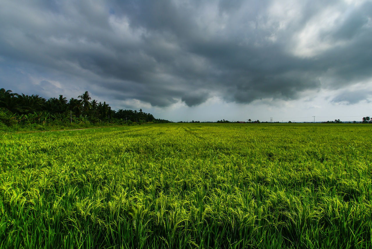 View of paddy fields in Sungai Besar, Malaysia. Agriculture Atmospheric Mood Beauty In Nature Blue Cereal Plant Cloud Cloud - Sky Cloudy Crop  Cultivated Land Farm Farmland Field Green Color Growth Horizon Over Land Landscape Nature Plantation Rural Scene Scenics Sky Storm Cloud Tranquil Scene Tranquility