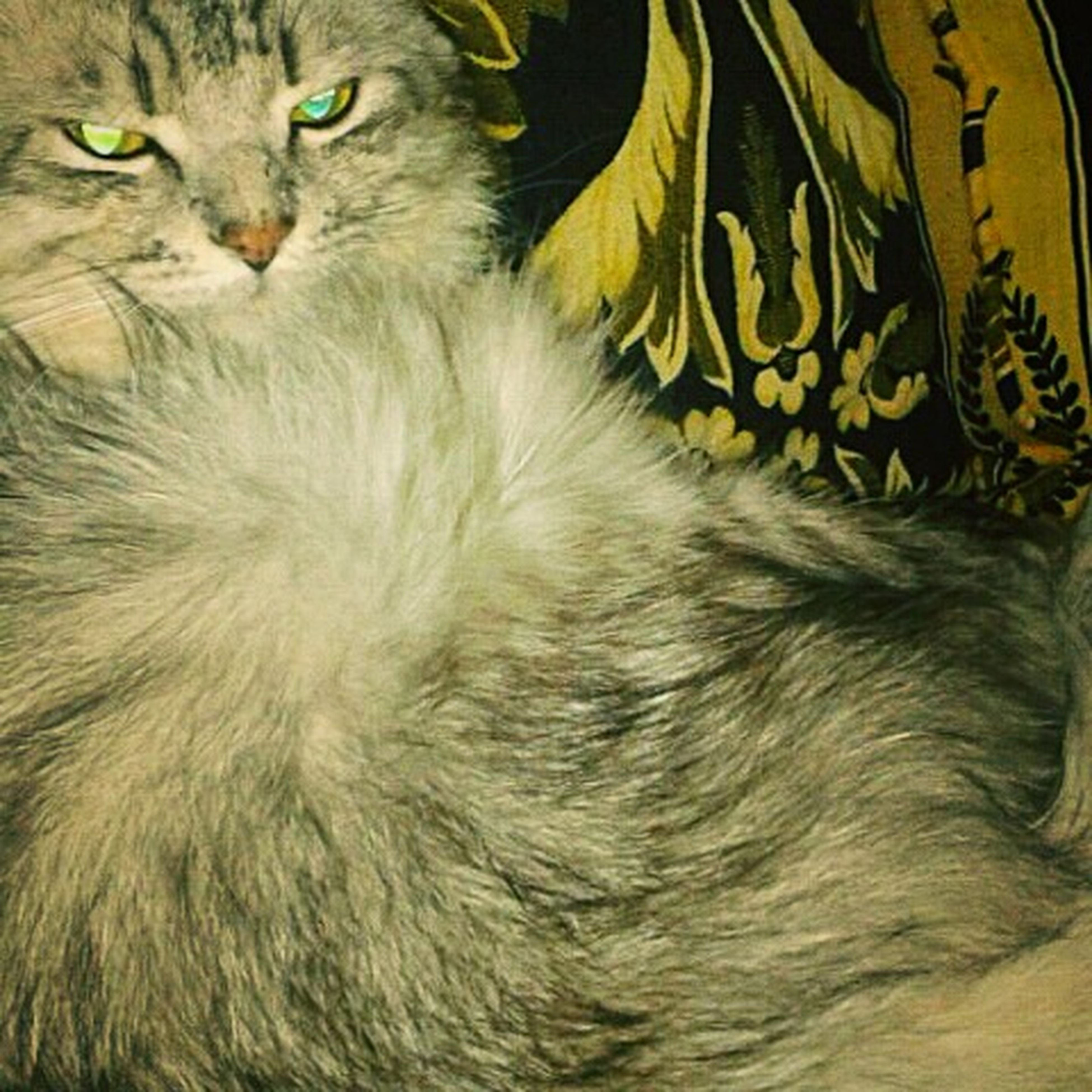 domestic cat, feline, pets, one animal, animal themes, domestic animals, portrait, whisker, no people, close-up, mammal, day, indoors, nature, persian cat