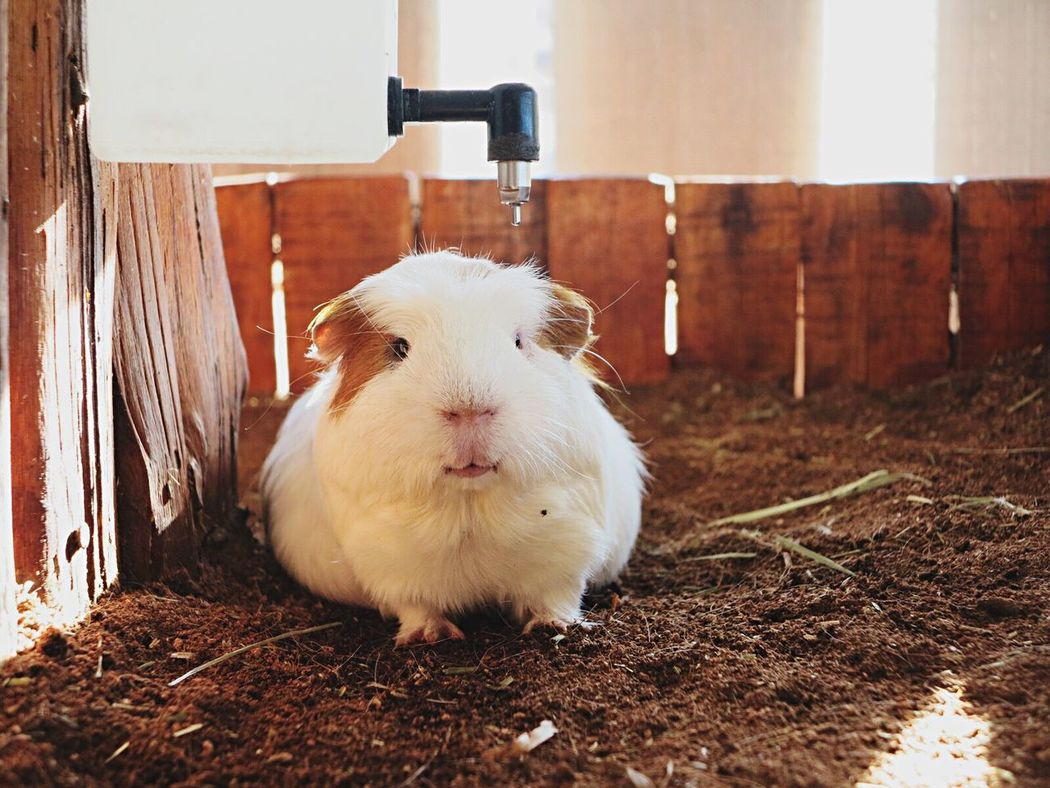 Hamster Animal Themes One Animal Pets No People Domestic Animals