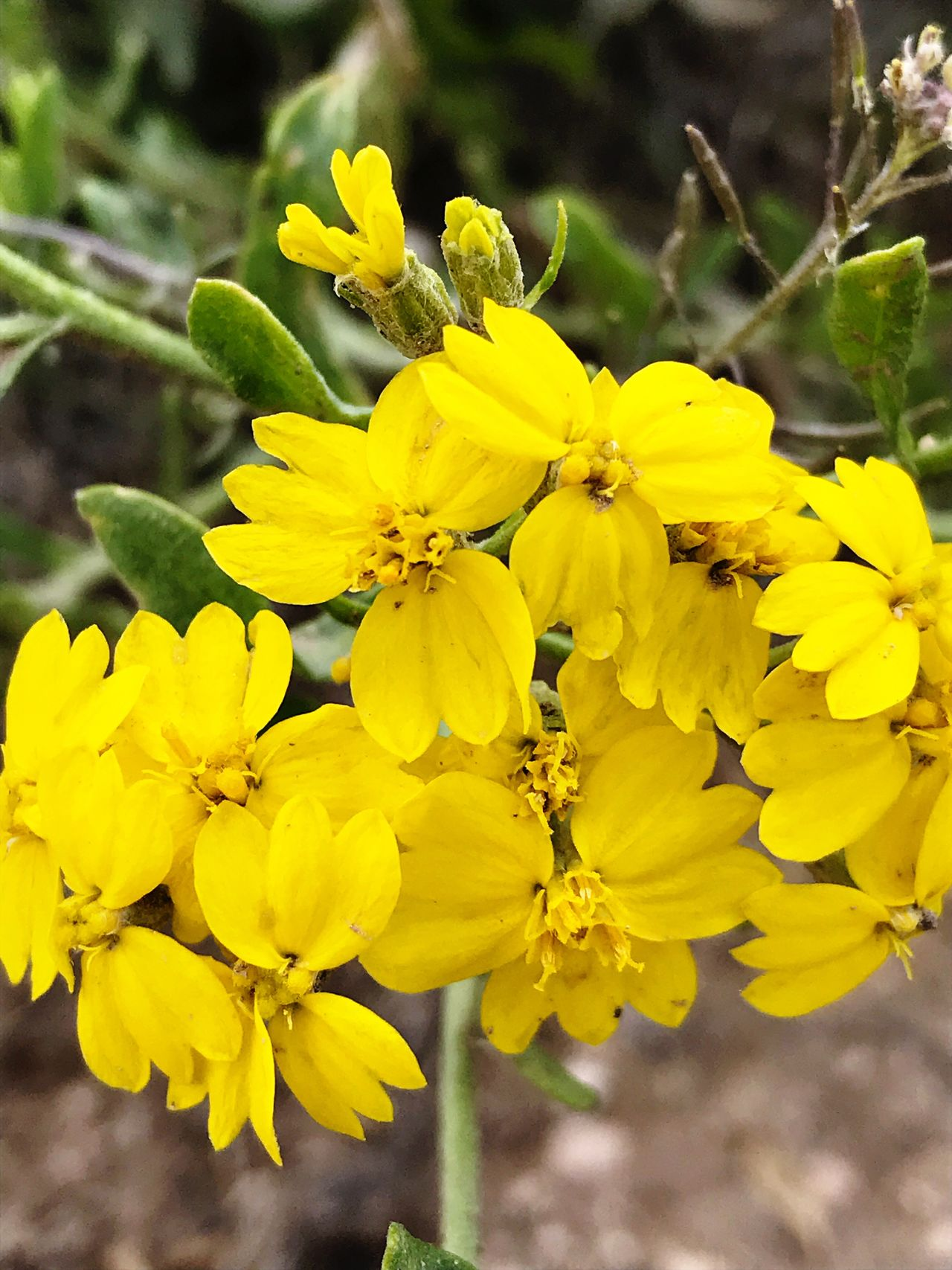 """""""Yellow Bouquet"""" Nature's florist delivers a beautiful yellow bouquet to the New Mexico countryside. Flower Yellow Beauty In Nature Freshness Blooming Wildflowers Yellow Flower Nature Nature Flower Head New Mexico Newmexicophotography"""