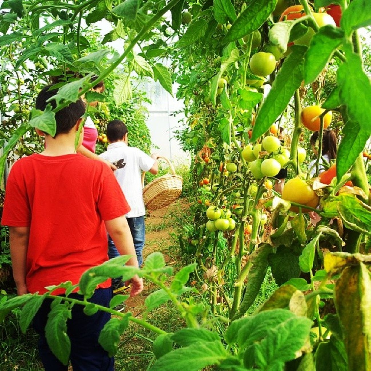 A trip to the farm with the kids!!! Trip With My Lovely Kids From  My School Farm Naturephotos Nature Naturephotography LoveNature Loveearth Organicfarm Organicfood Organic OrganicTomatoes Tomatoes