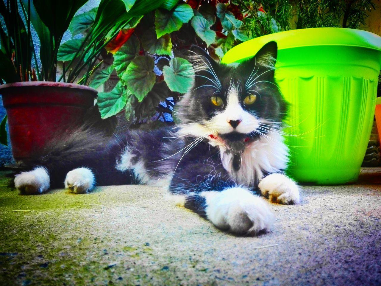 🍀Romeo 🌿 Romeo 🌿 Pets One Animal Domestic Cat Domestic Animals Feline Day Animal Themes Nature Garden Green Cats 🐱 ınstagram Black White Cateyes Yellow Colors