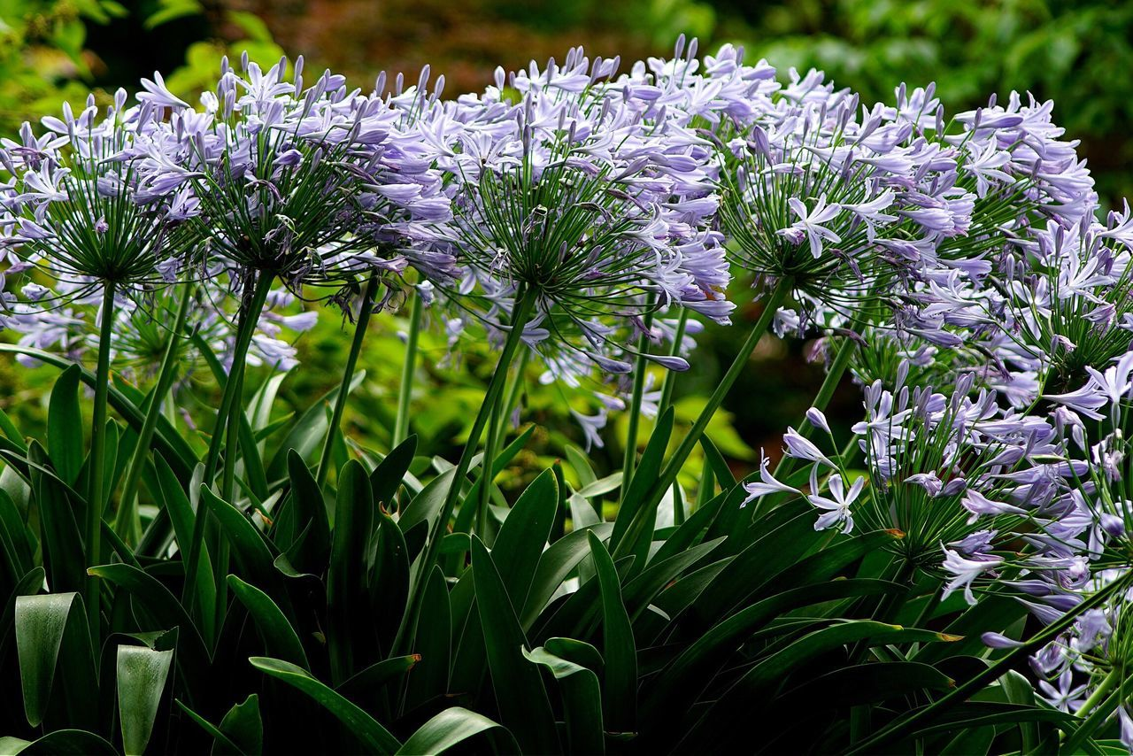 Agapanthus Flowers Lilac Flower Flowers,Plants & Garden Open Edit EyeEm Best Shots AMPt_community Tadaa Community Eye4photography
