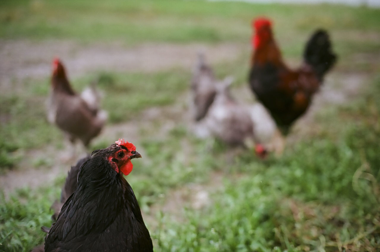 the chicken gang Analog Analogue Photography Animal Animal Head  Animal Themes Beauty In Nature Bird Black Color Chicken - Bird Close-up Day Field Focus On Foreground Grass Grassy Hen Livestock Male Animal Mammal Nature No People Outdoors Red Rooster Selective Focus