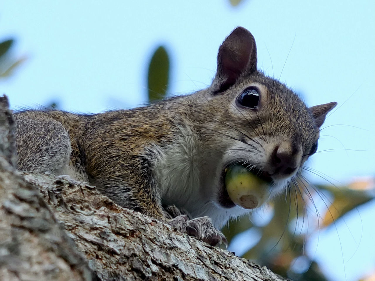 Eastern Gray Squirrel in Tree with Acorn Held in its Mouth Acorn Animal Themes Eastern Gray FUNNY ANIMALS Holding Humorous Mouth Nature No People One Animal Outdoors Squirrel, Wildlife Photography