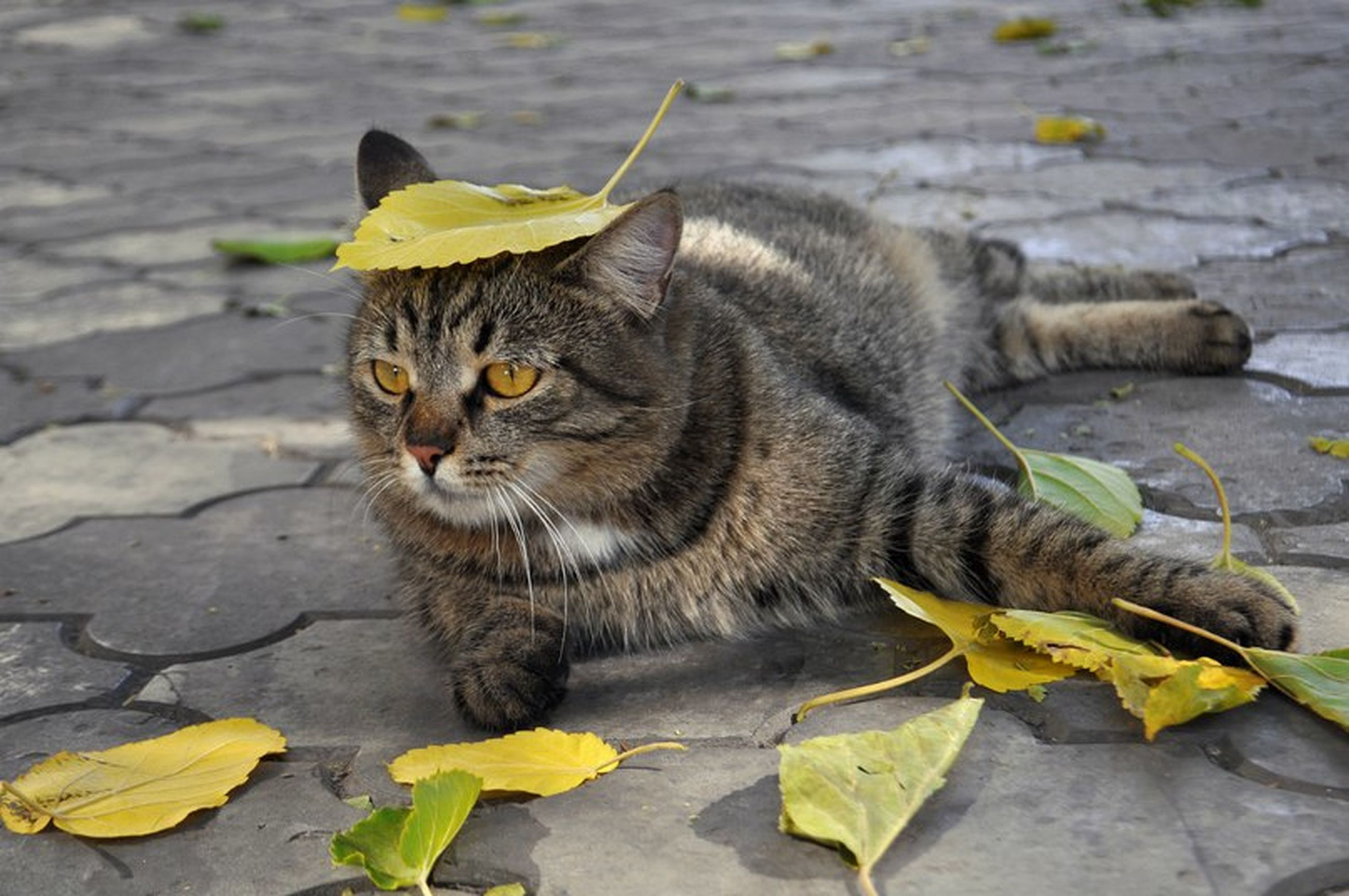 domestic cat, cat, one animal, animal themes, feline, pets, mammal, domestic animals, whisker, yellow, leaf, sitting, focus on foreground, outdoors, day, relaxation, close-up, looking away, nature, portrait