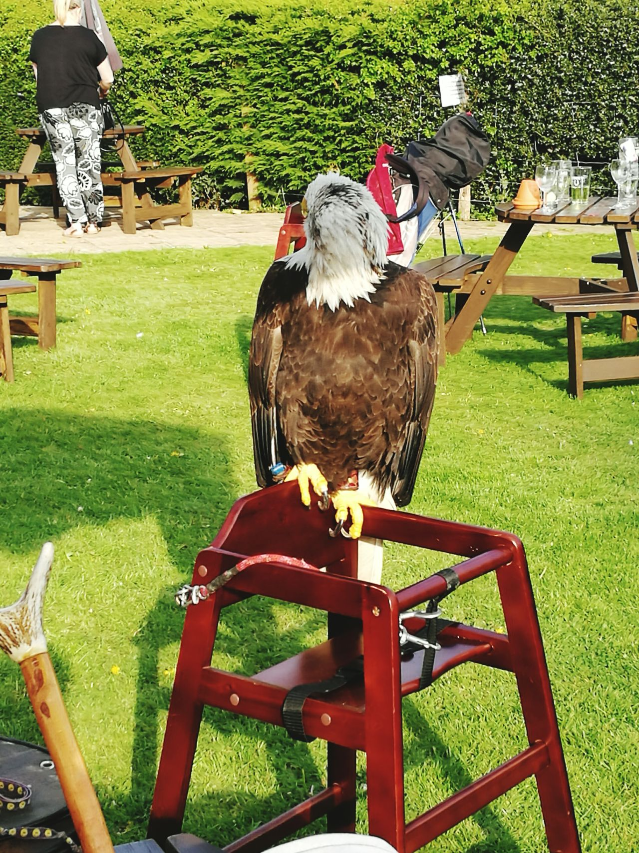American bald eagle sitting on a highchair facing the other way Americanbaldeagle Bald Eagle Pub Highchair Large Eagle Spring Day