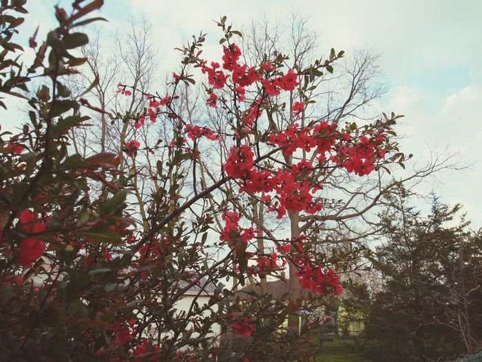 Nature Nature Photography Red Flower Red Flowers Flower Tree Sky Beautiful Tree Green Garden Photography Outdoors