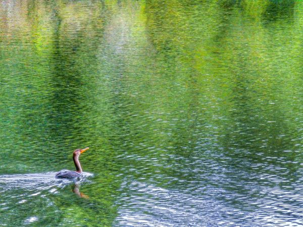 Deciding that the meaning of life has something to do with swimming! Nature Water Reflections Things With Wings  Streamzoofamily