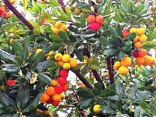 Madroños Fruit Tree Growth Food And Drink Food Close-up Citrus Fruit Outdoors Leaf Nature Freshness No People Agriculture Day Low Angle View Branch Healthy Eating Orange Tree Sky