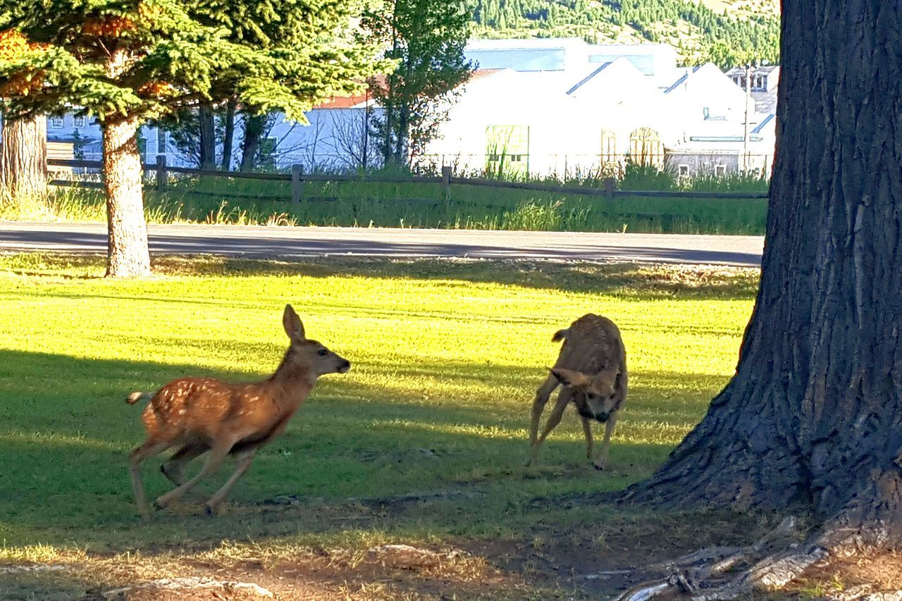 Baby Animals Baby Deer Spots Montanamoment Milenamulskephotography Check This Out Wildlife In Residential Area Wildlife In The City Country Life Home Is Where The Art Is Deer Playing Deer Running Away Small Town USA Small Town Life Two Is Better Than One Country Living I LOVE PHOTOGRAPHY A Bird's Eye View Outdoors Follow Please Capturing Movement Capturing Motion