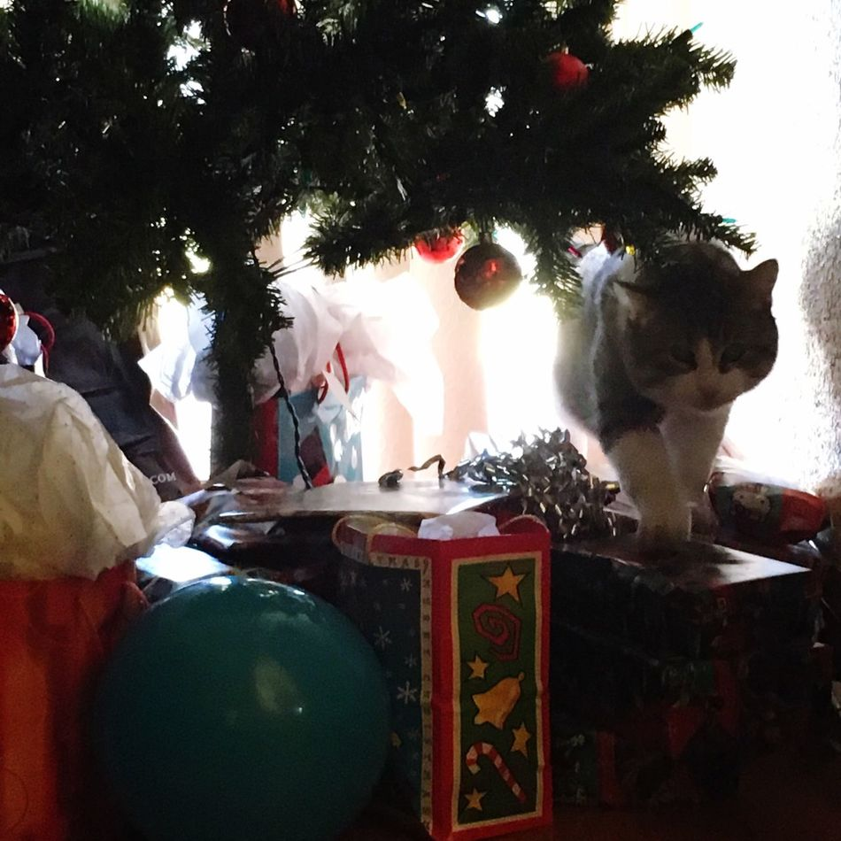 Kitty Christmastime Hello World Check This Out Hanging Out Cheese! Hi! Enjoying Life Cat Cute