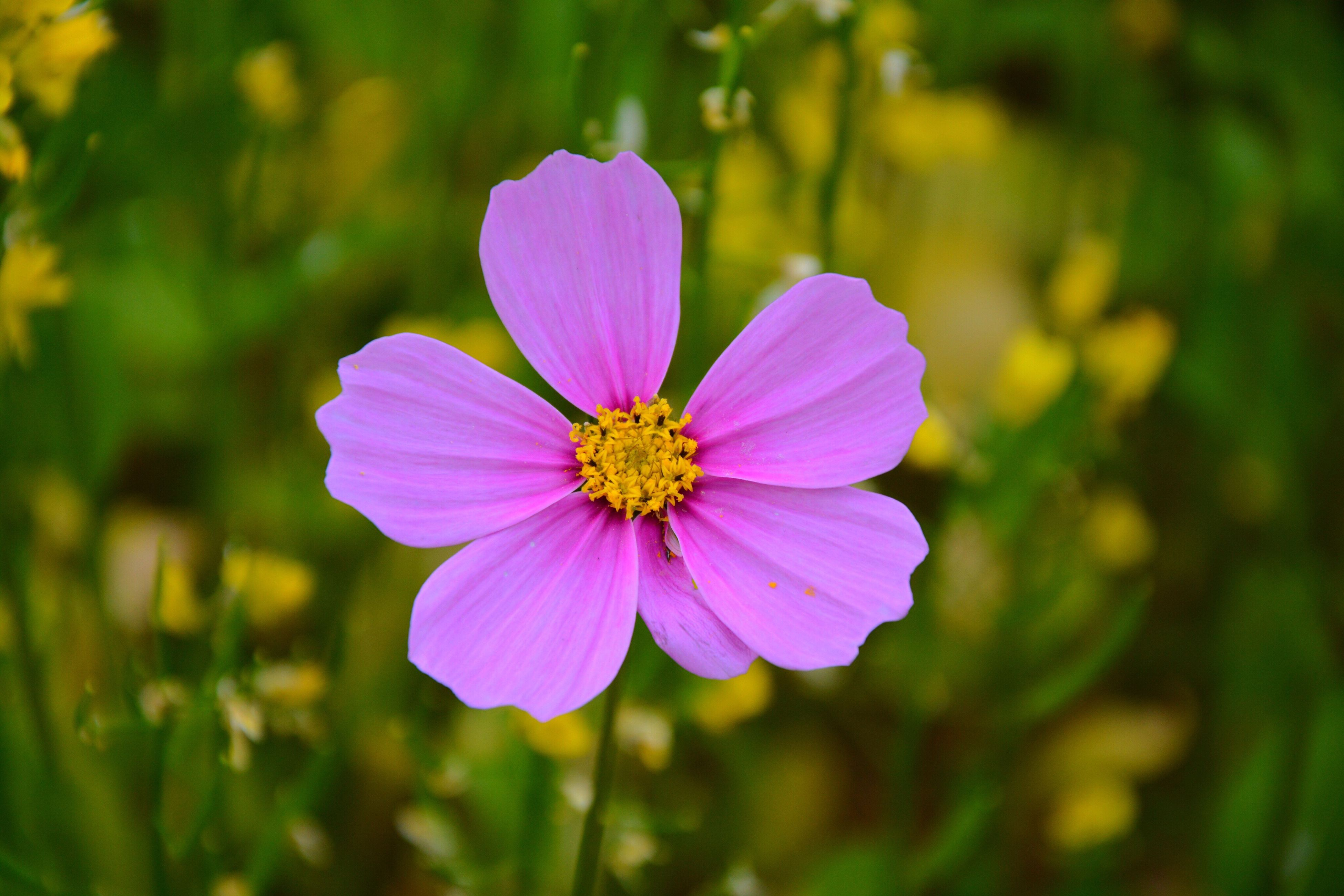 flower, petal, freshness, flower head, fragility, growth, beauty in nature, purple, pollen, focus on foreground, blooming, close-up, single flower, nature, pink color, in bloom, plant, stamen, blossom, day