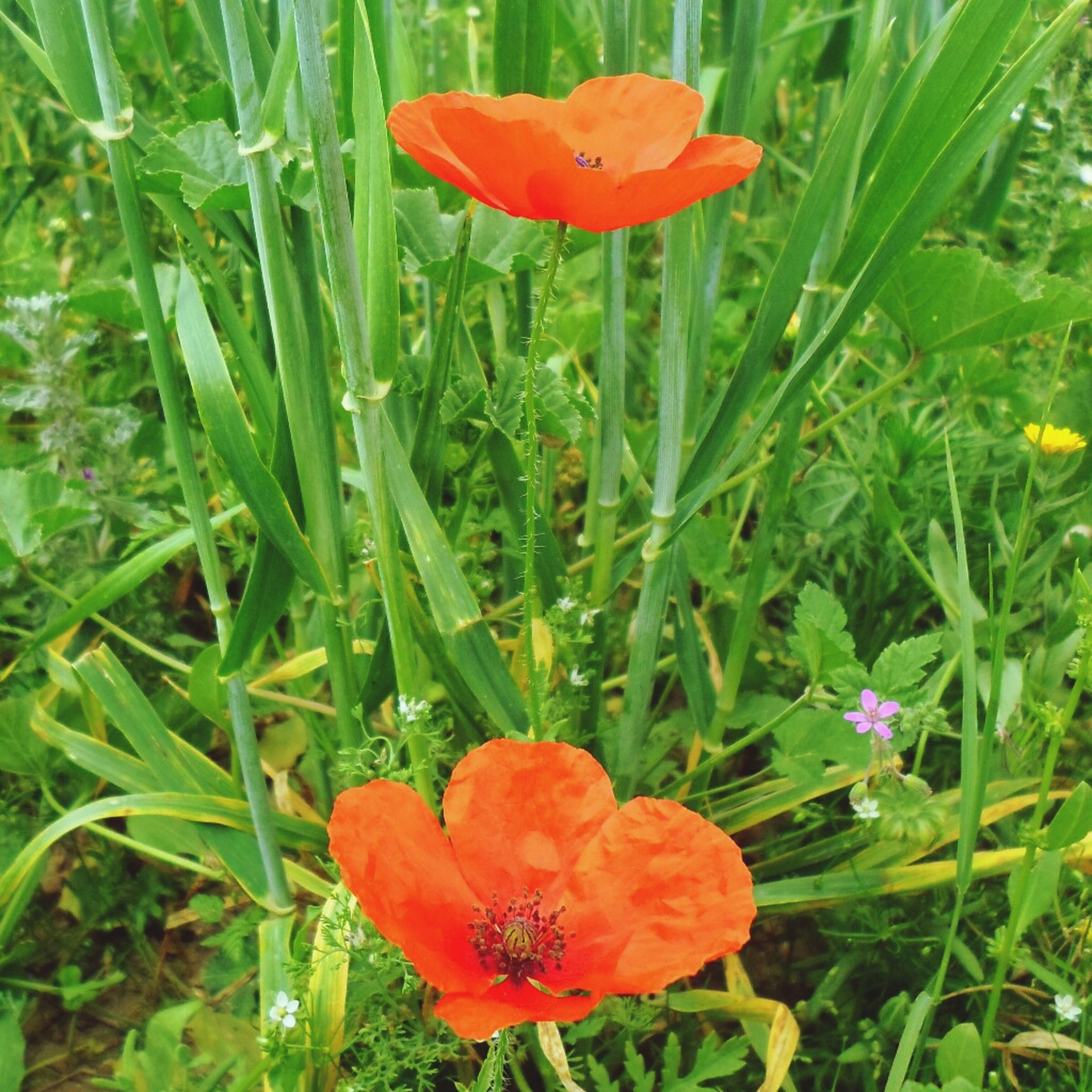 flower, freshness, petal, fragility, flower head, growth, beauty in nature, red, blooming, plant, poppy, nature, field, tulip, close-up, in bloom, green color, blossom, stamen, orange color