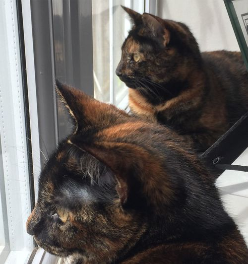 Two Is Better Than One Cats Twins Tortoiseshell Kittens Gold Eyes Cats Eyes Cute Domestic Animals Pets Sisters
