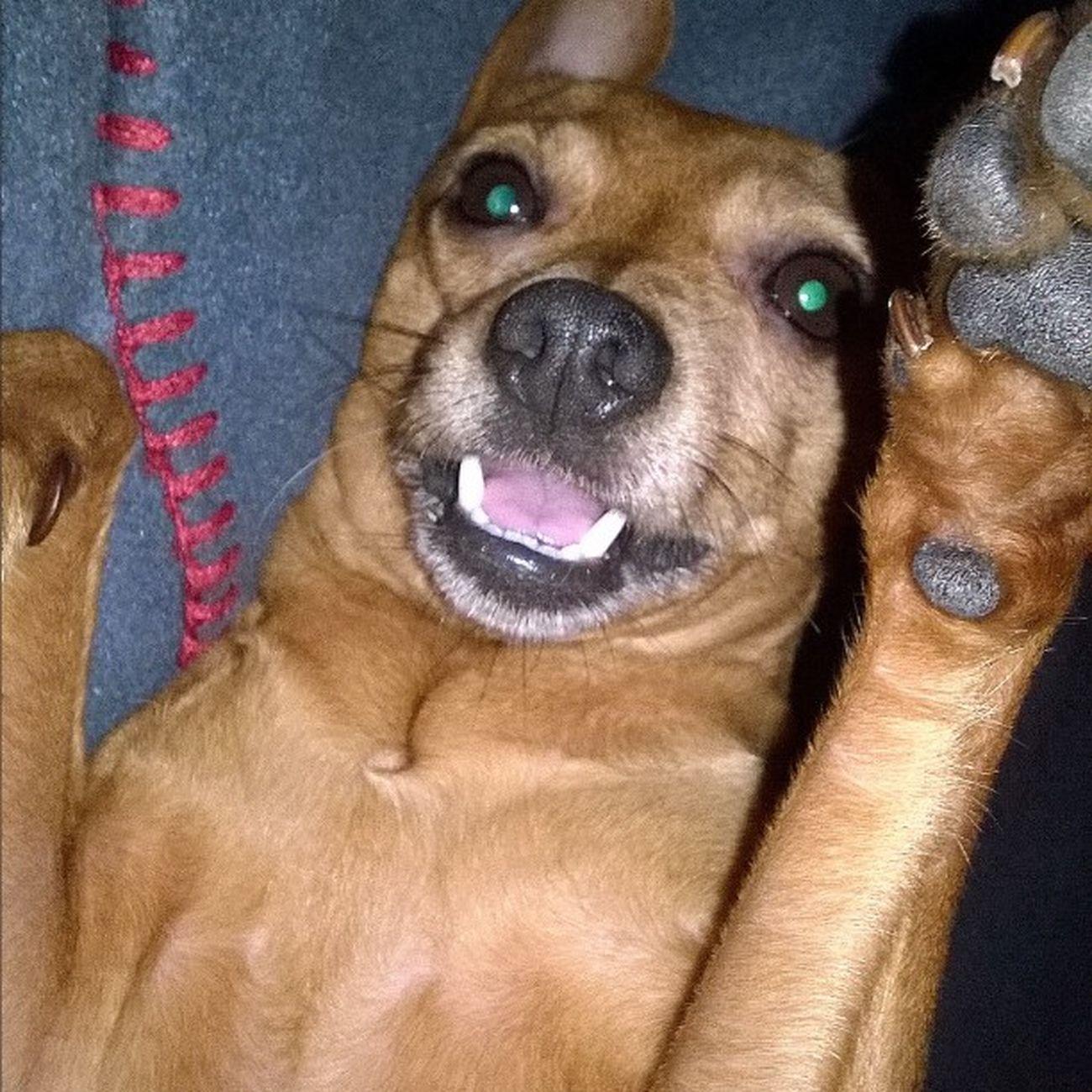 LilliPincher Picofday Monella Dog Cane Mydog Thebest 💕💕