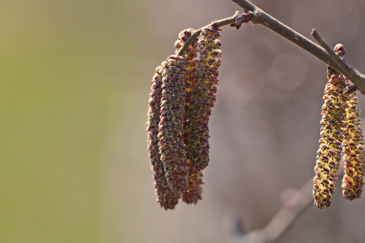Close-Up Of Pussy Willows On Branch