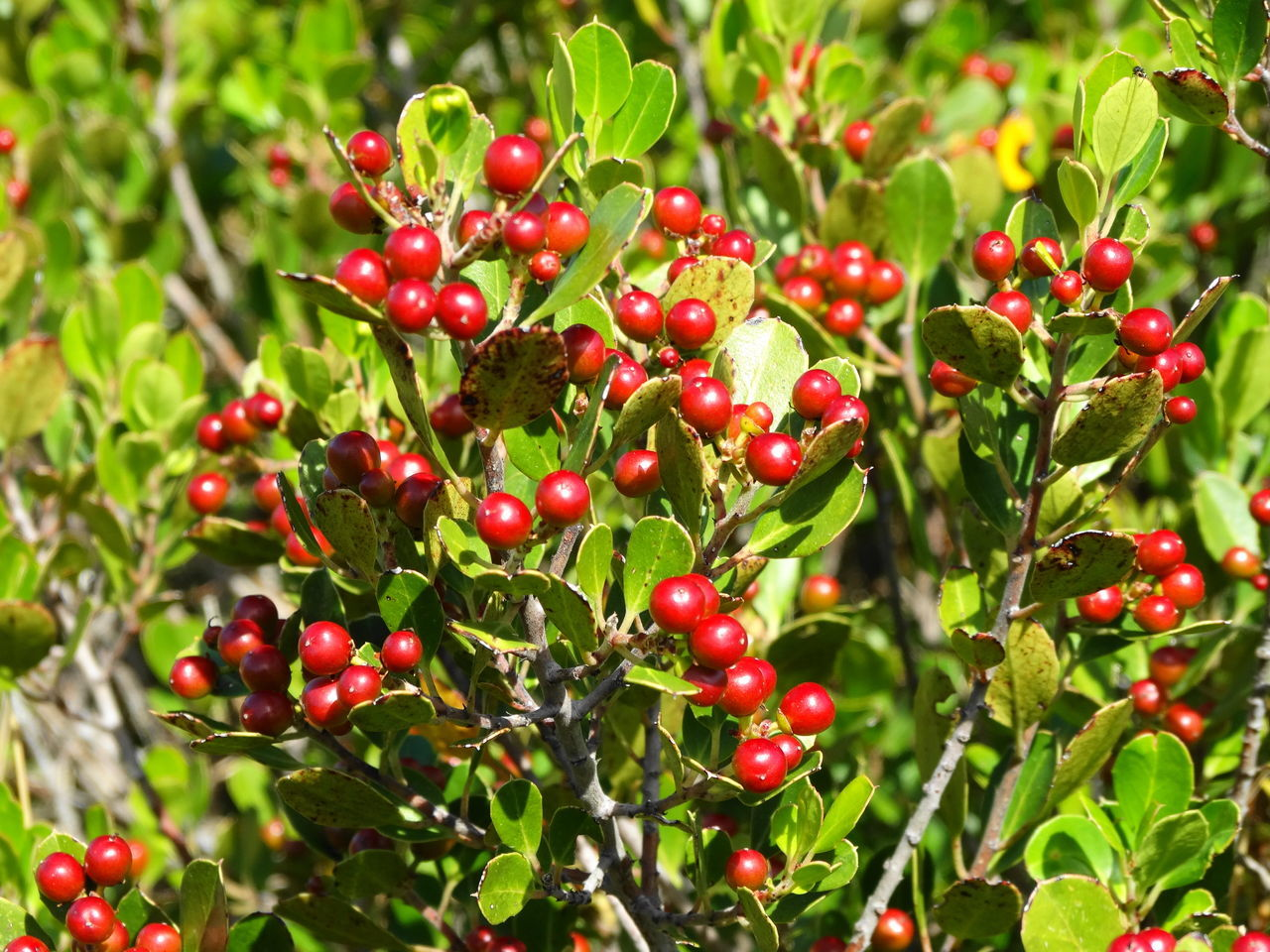 fruit, red, growth, food and drink, focus on foreground, food, growing, freshness, raw coffee bean, leaf, rowanberry, nature, outdoors, cherry, tree, day, green color, plant, no people, agriculture, branch, healthy eating, close-up, water, beauty in nature