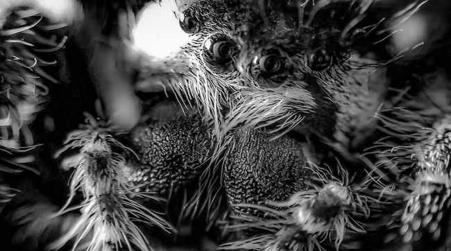 Attack Of The Macro Collection! Macro Addict Macro Photography EyeEm Macro Insect Paparazzi Close-up Macro_collection In The Eyes Of A Spider Spider Eyes Darkart Macro Jumping Spider Spiderama Arachnophobia Spiderworld Spider Spiderland Spider Portrait Bug Portrait Black And White Black&white Black & White