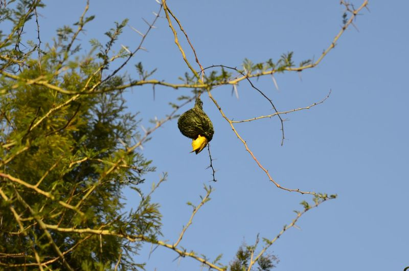 Weaverbird Nest Southern Masked Weaver Bird Birds Birdwatching a Black-masked weaver building a home for his wife and kids, hope the wife will be happy with it this time