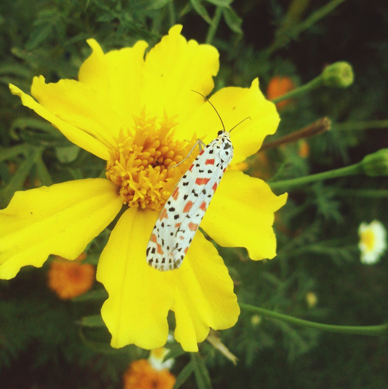 Close-Up Of Butterfly Feeding On Yellow Marigold Nectar