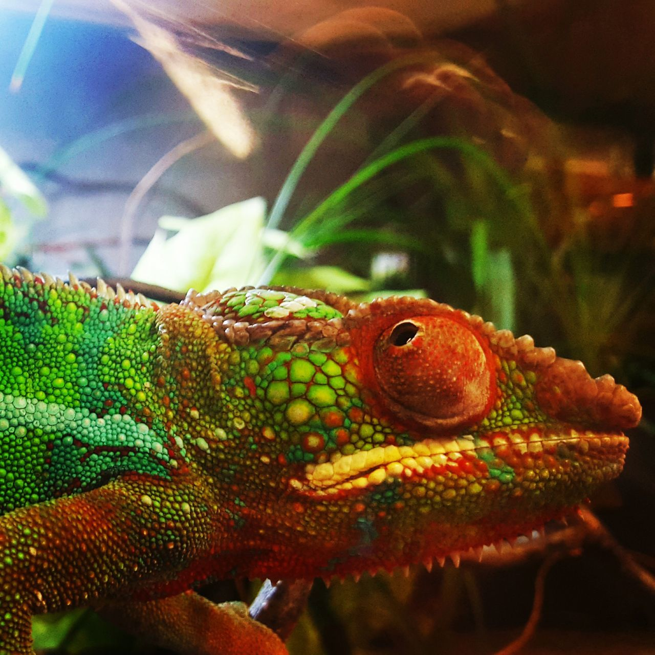 one animal, reptile, animals in the wild, animal themes, close-up, animal wildlife, focus on foreground, green color, no people, day, chameleon, outdoors, nature, animal scale