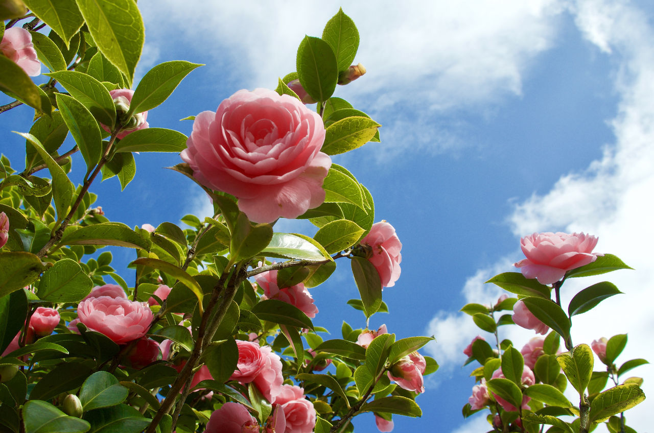 Pink Camellia against blue sky and clouds Beauty In Nature Blooming Camellia Close-up Cloud - Sky Day Flower Flower Head Fragility Freshness Green Color Growth Leaf Low Angle View Nature No People Outdoors Petal Pink Flower Pink Sky Plant Sky Millennial Pink