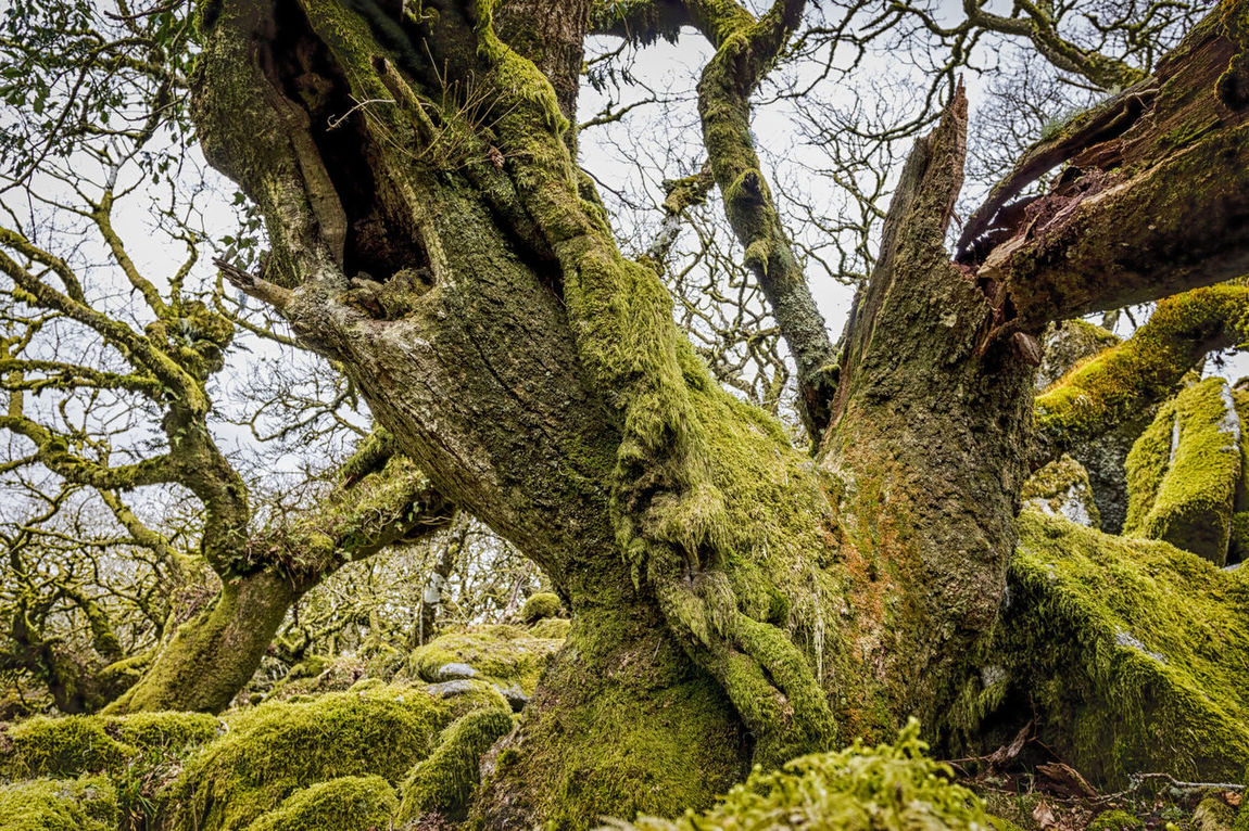 Ancient oaks in Wistman's Wood, Dartmoor Ancient Woodland Ancient Woods Beauty In Nature Branch Dartmoor Day Forest Green Green Color Growing Growth High Altitude Leaf Low Angle View Moss Nature No People O Outdoors Scenics Sky Tranquil Scene Tranquility Tree Tree Trunk