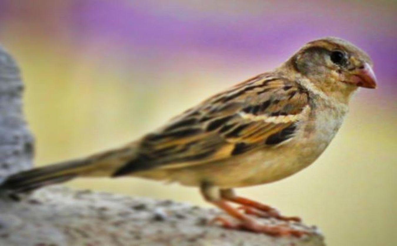 Sparrows Sparrow Macros Macro_x Macro_perfection Macrophotography Wildlifephotography Birds Birdgram Birdsofinstagram Colors Picasa