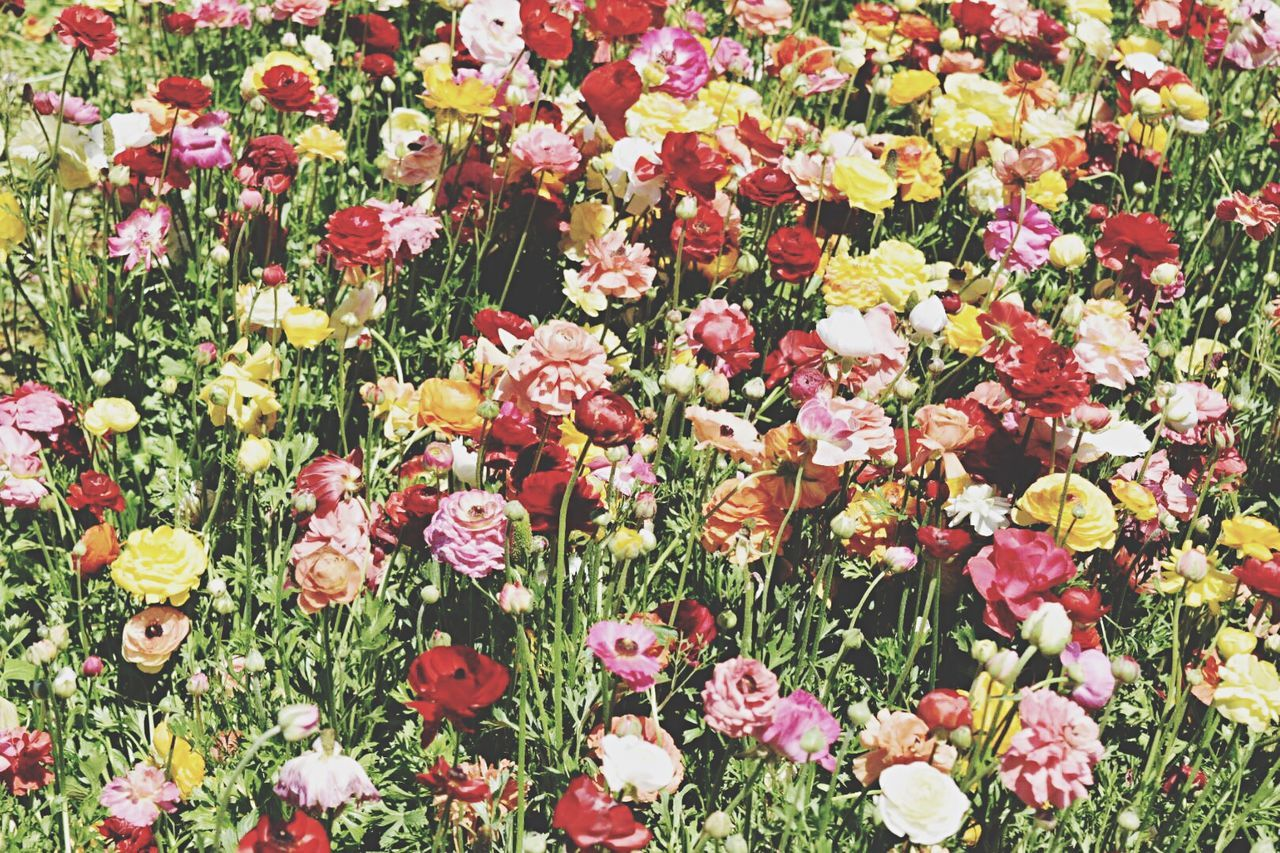 Flower Nature Fragility Beauty In Nature Petal Growth Flower Head Freshness No People Field Plant Pink Color Outdoors Day Multi Colored Grass Blooming Colorful Background Textured  Flowers Agriculture Happy Variation