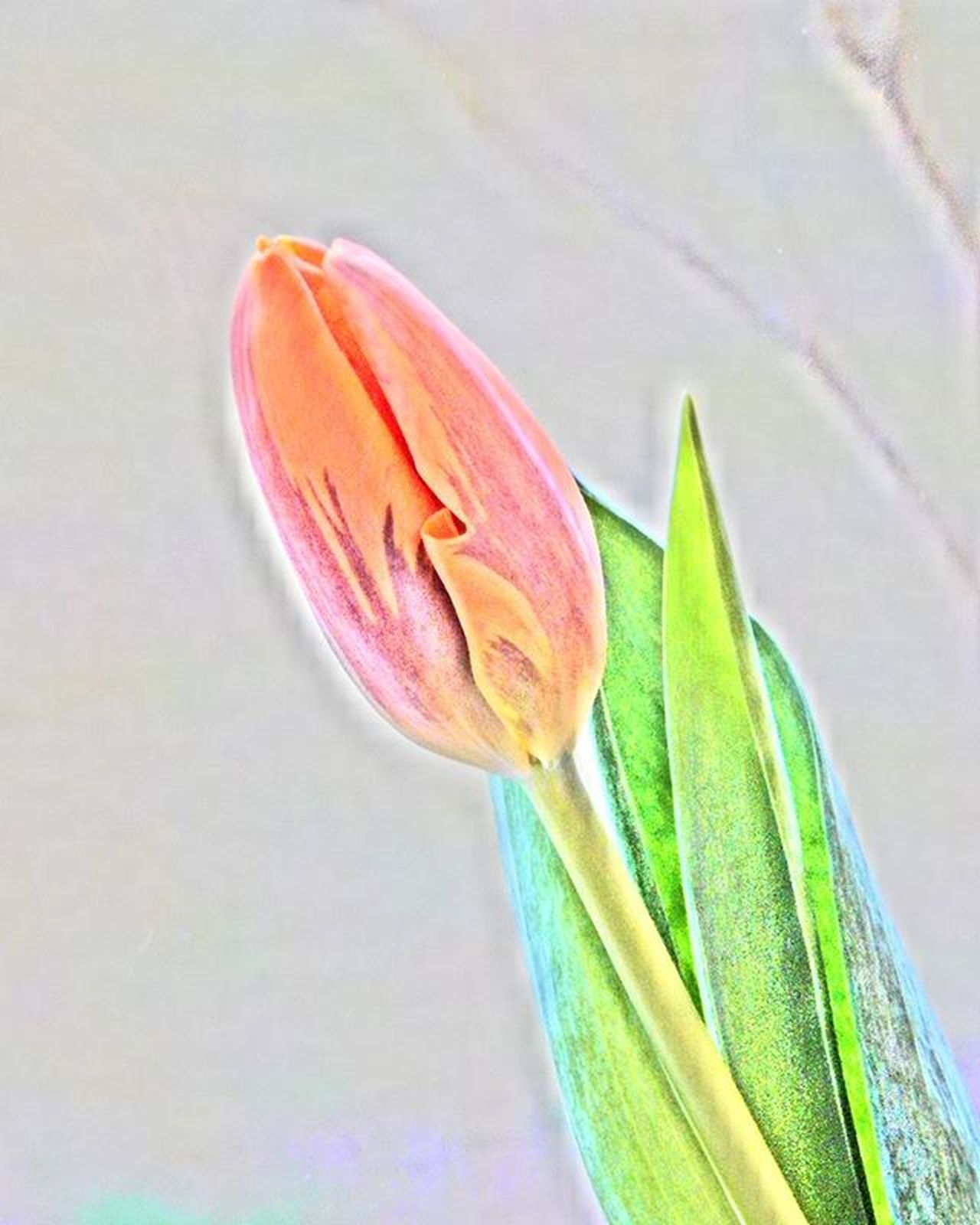 Tulpe Tulip Pavasaris Spring Fotofanatics_flowers_ Loves_flowers_ Loves_life Amateurs_shot Total_shot Ig_myshot Versatile_photo_ Prettiestpastels Flower Ziedi Latvija Fotocatchers Best_free_shot Global_ladies Global_beautiful_pictures