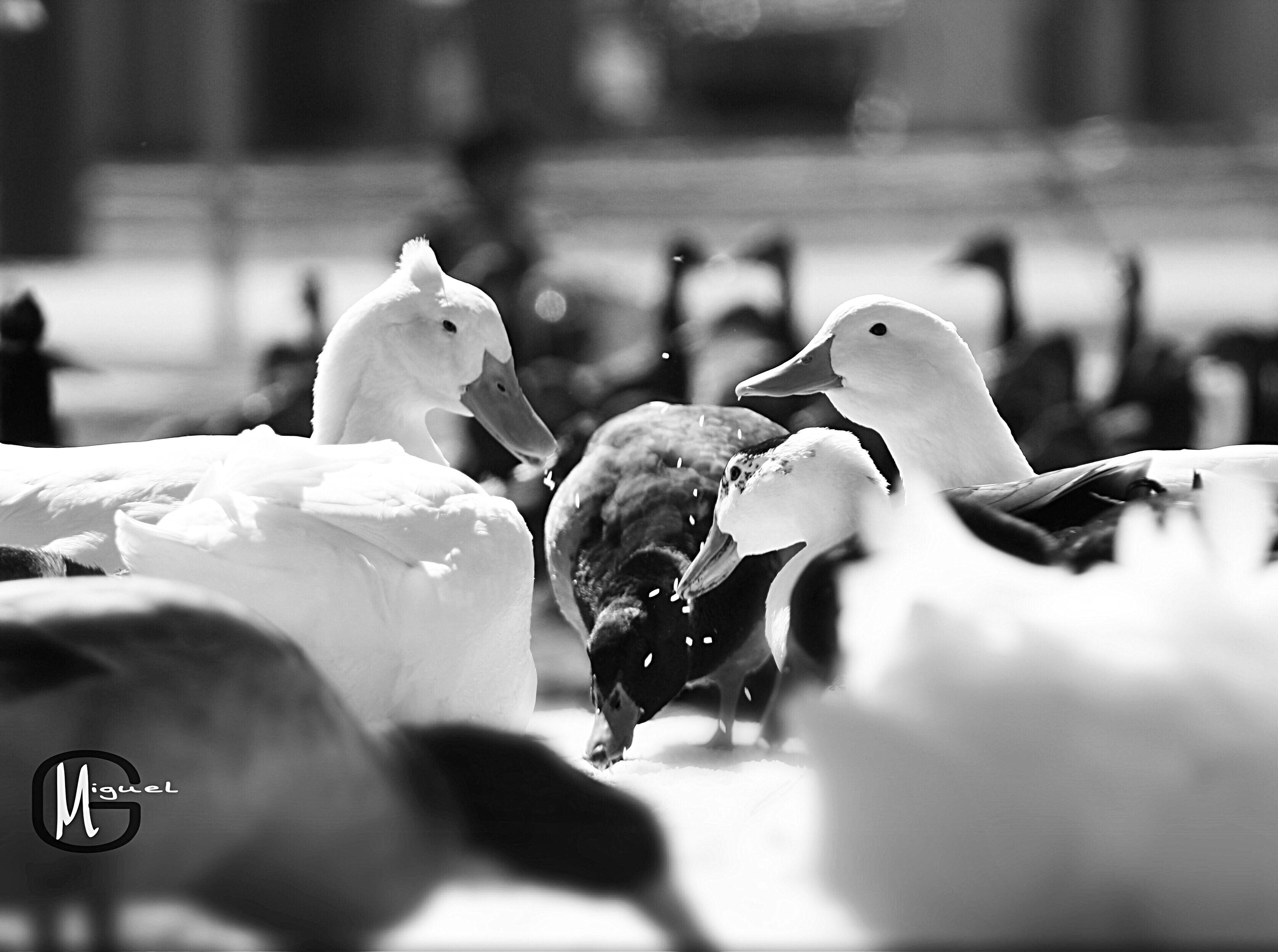 Bird Animals In The Wild Animal Wildlife Day Close-up No People Outdoors Ducks Duck Park Feeding  Feeding Animals Feeding The Birds Feeding Time Feeding Ducks Surroundedbyducks Nature Canonphotography Canonrebelt5 Photography Photoshoot Photographylovers Photojournalism Enjoying Life Enjoying The Sun EyeEmNewHere