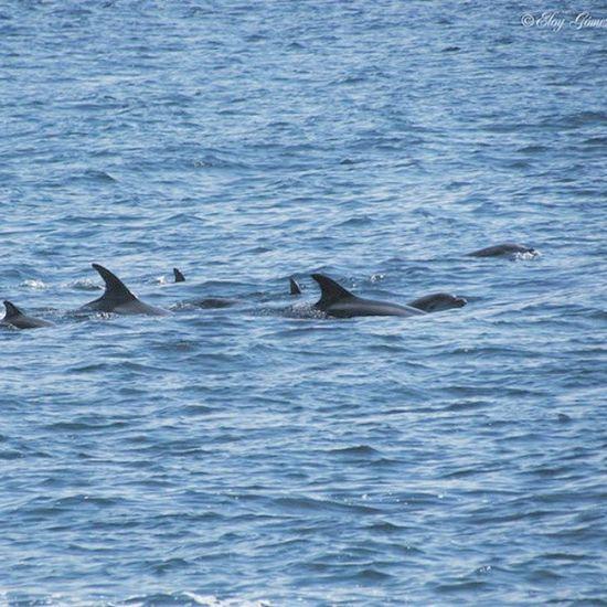 Sea Dolphins Sailing Galiciaparadise Riasbaixas Nature Earth Family Animals cachalotes en la ría de vigo.