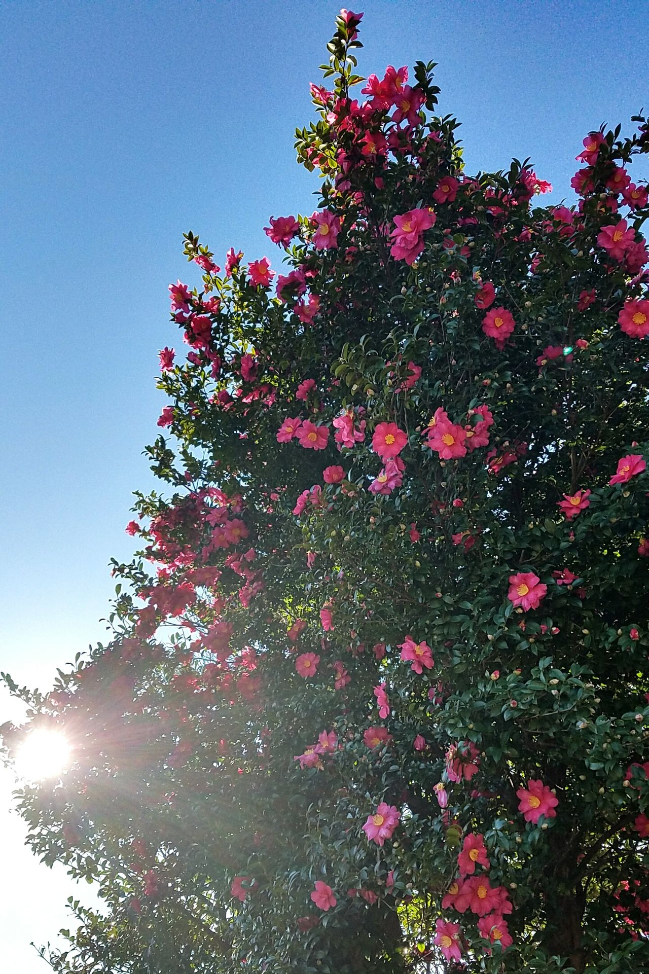 Sky Flower Beauty In Nature Flower Photography Flowerlovers Trees 椿 空 花 Camellia Flower Camellia Japonica Tokyo,Japan
