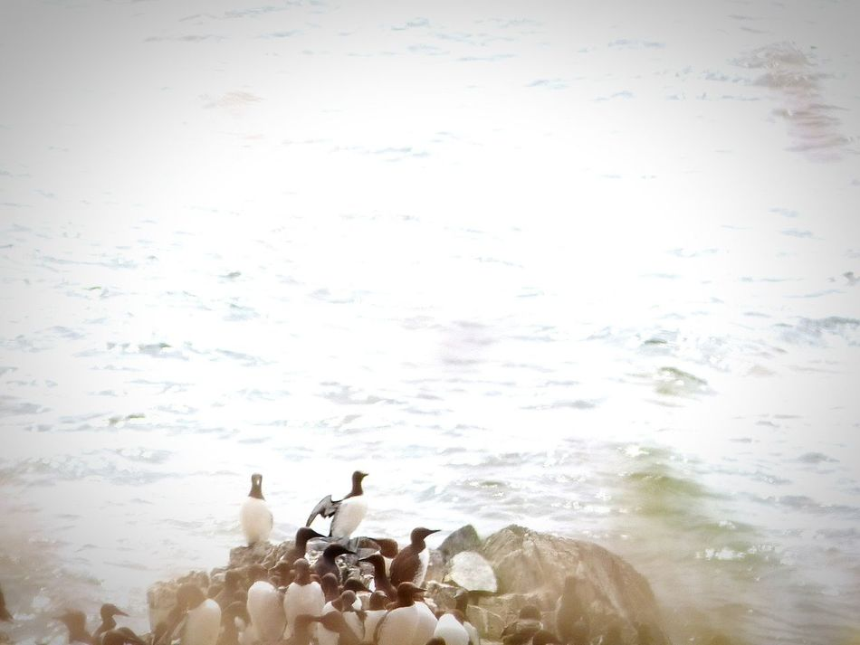 Common Murre Nesting Pivotal Ideas Bird Photography Birds_collection Birds Common Murre Animals Oregon Coast Birds In Flight Animals In The Wild Nature On Your Doorstep Nature_collection Nature