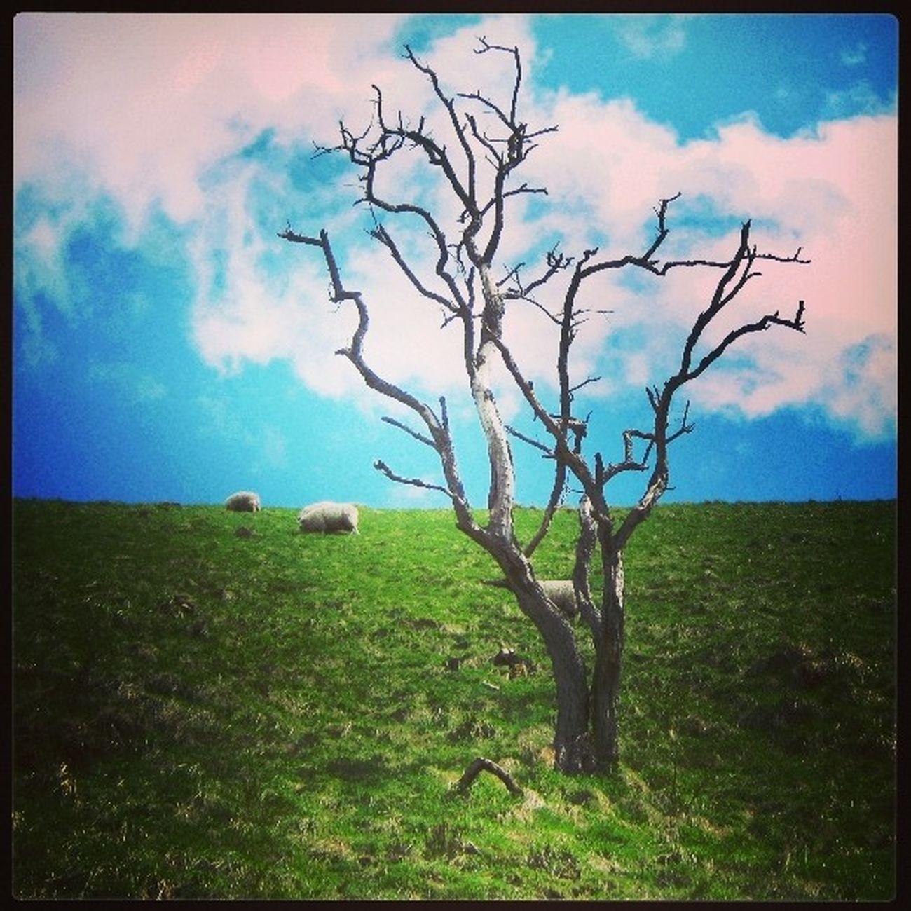 Tree Nature Photooftheday Instafaily England DoveHale Walk Sheep Polishphotographer Polishgirl Grass Awesome Walk Winter Spring Owca Pastwisko Samotnosc Loneliness