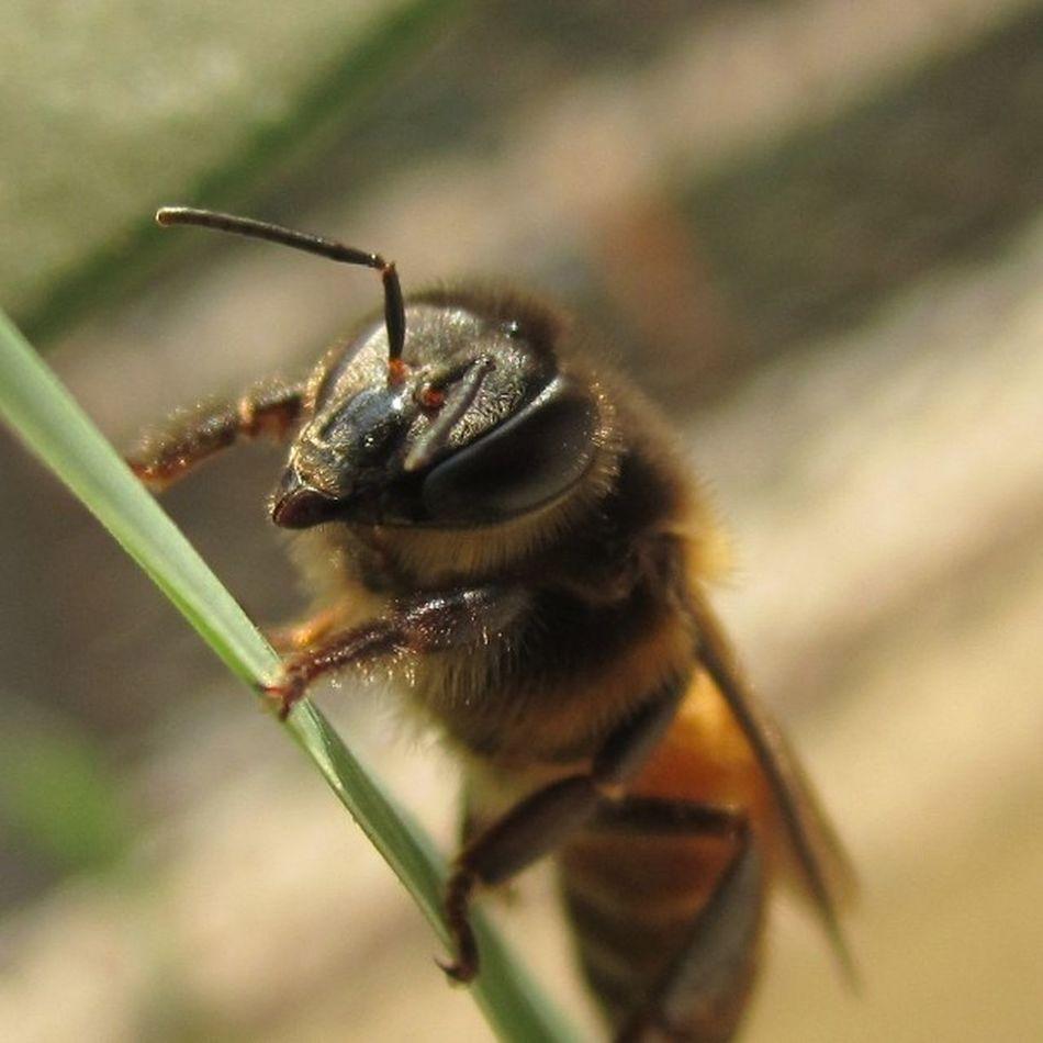 Finally a macro with mr Bee Camera used : Canon ixy 400f
