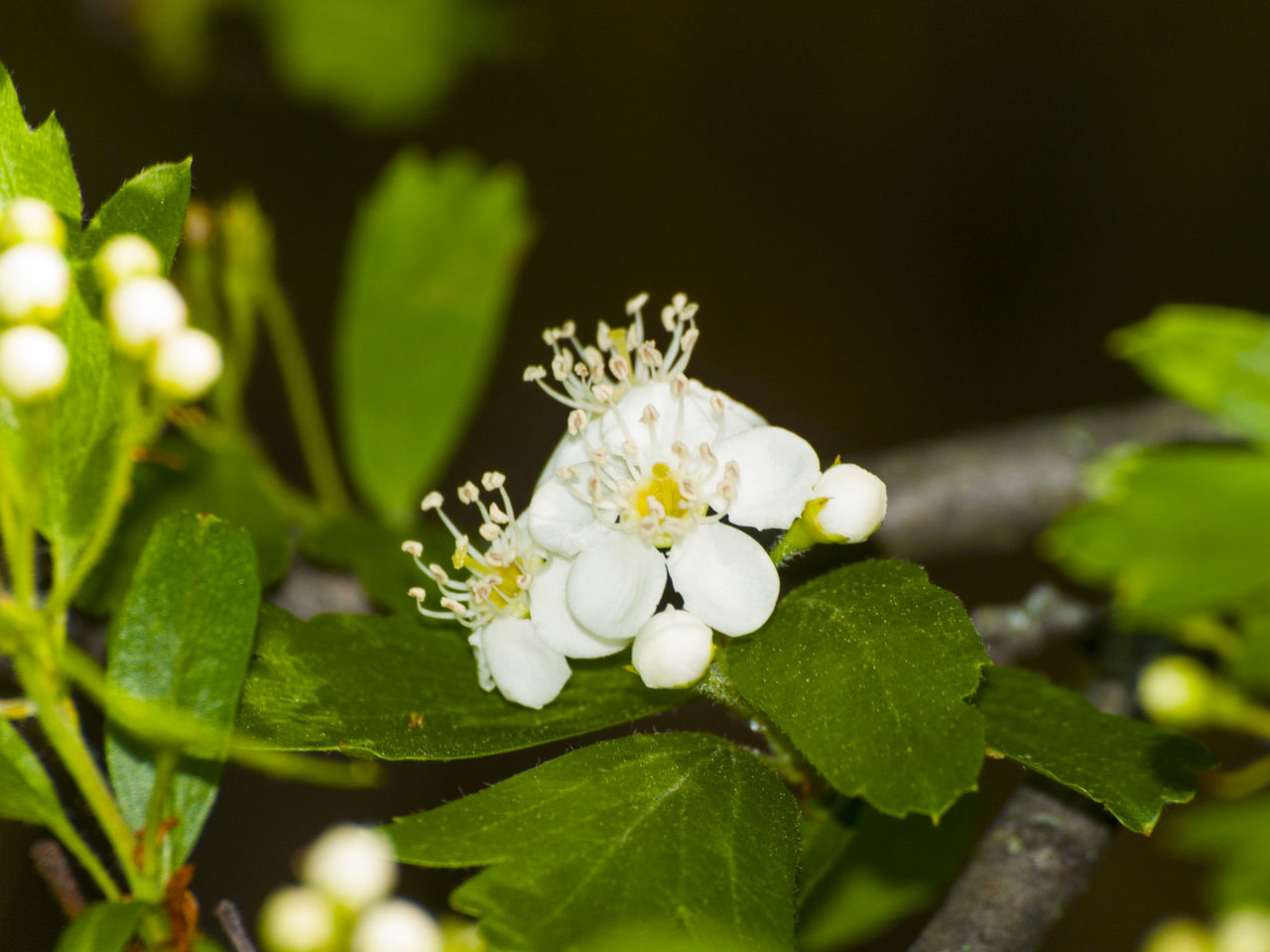 Animal Themes Animals In The Wild Beauty In Nature Blooming Bush Close-up Crataegus Crataegus Monogyna Day Flower Flower Head Fragility Freshness Green Color Growth Hawthorn Nature No People One Animal Outdoors Petal Plant Springtime White Color Whitethorn