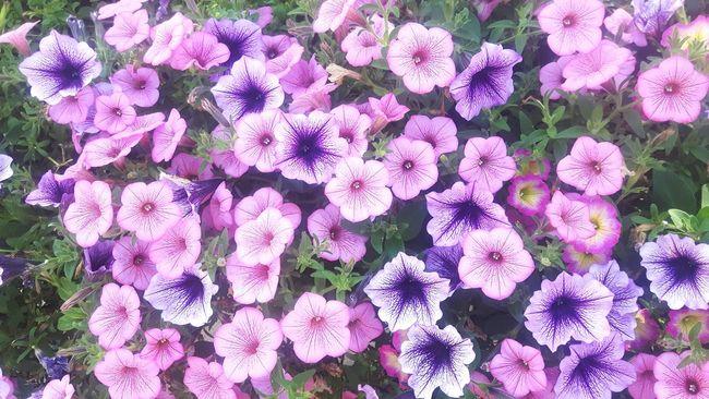 Flower Collection Flowerporn Flowers, Nature And Beauty Flower Photography Flower Wallpaper Blumenpracht🌺🍃 Purple Flower Purple Lila Violet Violet Flowers Violets Blumenfotografie Flowers_collection Flowers Of EyeEm Color Palette Fresh On Eyeem  Freshness