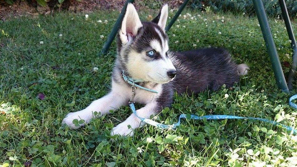 One Animal Pets Animal Day Looking Tranquility Husky Puppy Dog Eyeblue Sans Filtre