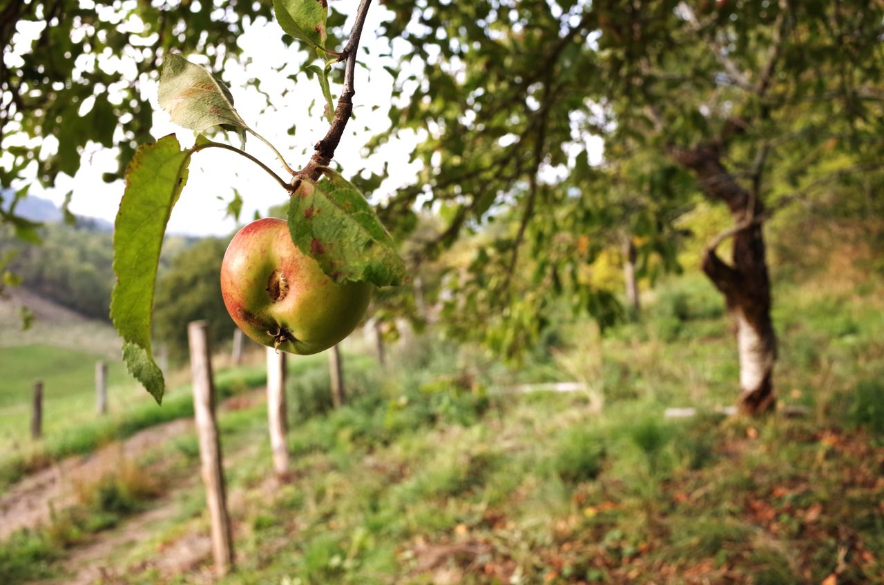 Beautiful stock photos of apple, Agriculture, Apple - Fruit, Apple Tree, Branch
